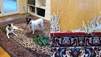 Restauración alfombra mordedura de perro